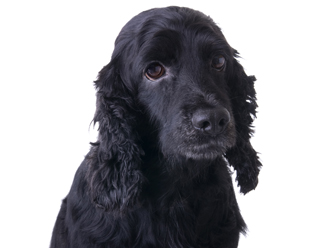 Köpeklerde depresyon belirtileri; iştahtan kesilme, hareketlilikte azalma, uyku süresinde artış, insanlarla iletişim azlığı, ilgi azalması...